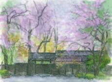 しだれ桜4.jpg