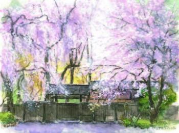 しだれ桜5.jpg